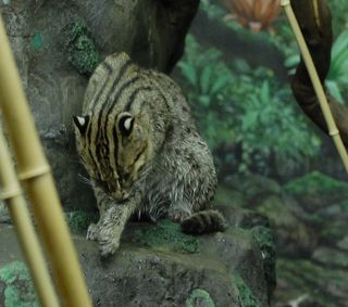I'm a Fishing Cat. I'm Anything in the World but Dry.